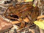 grenouille_rousse-150x112 dans Environnement
